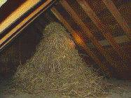 STARLING NEST IN A HOUSE ATTIC
